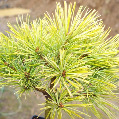 Colorado Pinyon Pine Tree Seeds - 25 Count