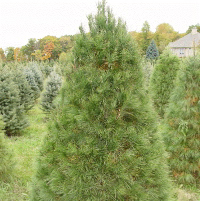Eastern White Pine Tree Seeds - 25 Count