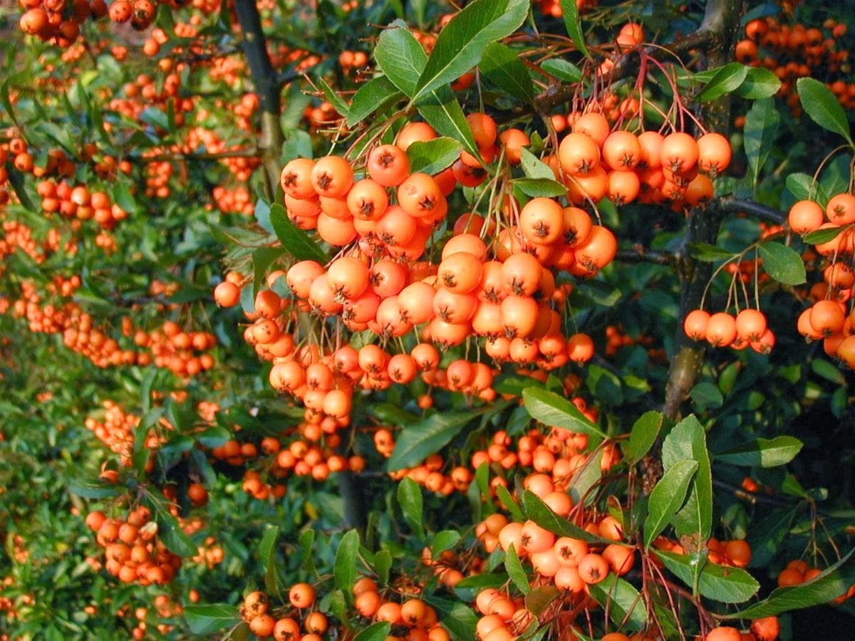 Dwarf American Pyracantha Seeds - 15 Count