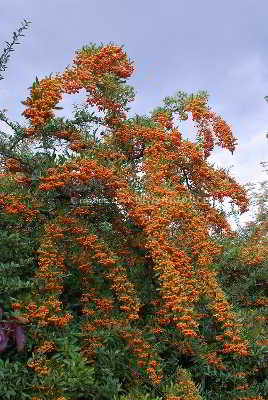 American Pyracantha Seeds - 15 Count