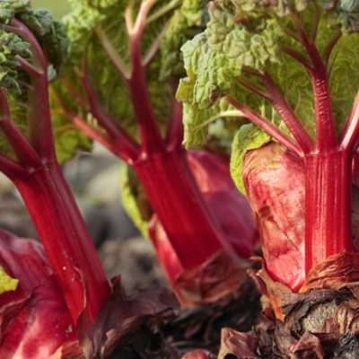 Organic Victoria Rhubarb Seeds - 15 Count - Click Image to Close