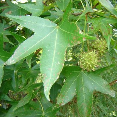Common Sweetgum Tree Seeds - 15 Count