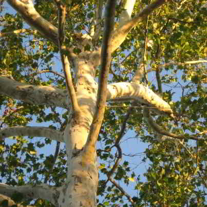 American Sycamore Tree Seeds - 30 Count