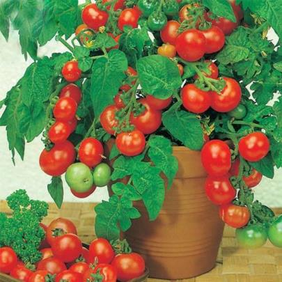 Organic Mighty Sweet Grape Tomato Seeds - 20 Count